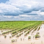 Wet weather threatens soybeans