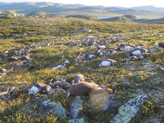 This image made available by the Norwegian Environment Agency on Monday shows some of the more than 300 wild reindeer that were killed by lighting in Hardangervidda, central Norway, on Friday in what wildlife officials say was a highly unusual massacre by nature.