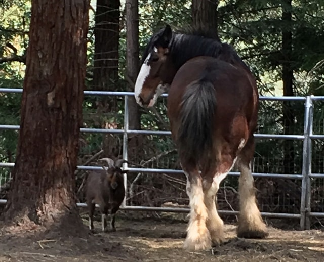 This undated photo provided by Tamara Schmitz shows Clydesdale horse Budweiser with his friend, a Nigerian dwarf billy goat named Lancelot, near Santa Cruz, Calif. Budweiser was safely back in his pen Sunday, Aug. 28, 2016, in the Santa Cruz Mountains on California's Central Coast after five days on the lam. Owner Tamara Schmitz says Buddy was busted out Wednesday, Aug. 24, by Lancelot, who knows how to butt open the stable gate. (Tamara Schultz via AP)