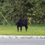 Get This: Wayward bull corralled on interstate highway in New Jersey