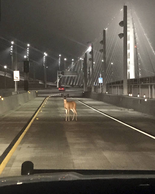 "This photo provided by the California Highway Patrol shows a doe, caught in the headlights of a CHP cruiser on the San Francisco-Oakland Bay Bridge early Tuesday morning, Aug. 29, 2017. Officers joked on a Twitter post they tried to stop the deer on the bridge ""for toll evasion,"" and that she usually pays the toll but ""today she was a buck short."" After staring at them for a couple of minutes, long enough for the officers to snap a photograph , the deer went back into the woods on Treasure Island. (Officer Sean Deise/California Highway Patrol via AP)"