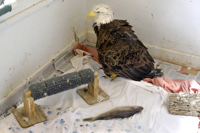 Nature's Nursery is caring for a large female bald eagle, pictured Wednesday, Oct. 25, 2017, which was dropped off with an injury to her wing. The staff is helping her to heal and gain weight before releasing her back into the wild. (Katie Rausch/The Blade via AP)
