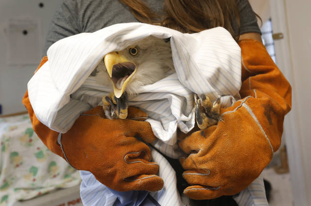 Jackie Rivas, Operations Coordinator at Nature's Nursery in Whitehouse, Ohio, holds a large female bald eagle as another staff member prepares to administer medication Wednesday, Oct. 25, 2017, at Nature's Nursery. The eagle was dropped off at the center with an injury to her wing. The staff is helping her to heal and gain weight before releasing her back into the wild (Katie Rausch/The Blade via AP)