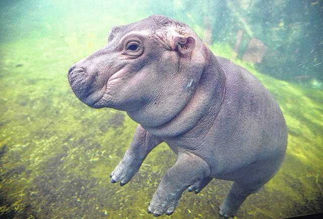 Fiona made her debut to the media in Hippo Cove at the Cincinnati Zoo and Botanical Garden on May 31, 2017, in Cincinnati. Fiona was born Jan. 24, weighing 29 pounds (13 kilograms).