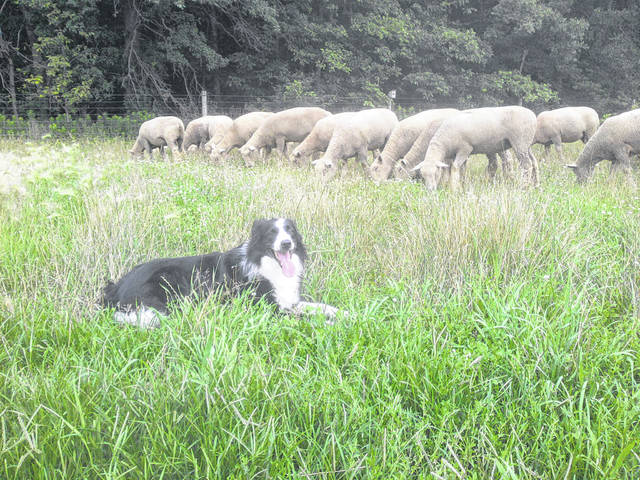 Jimmy doing what he loves best, being with his Southdown sheep.