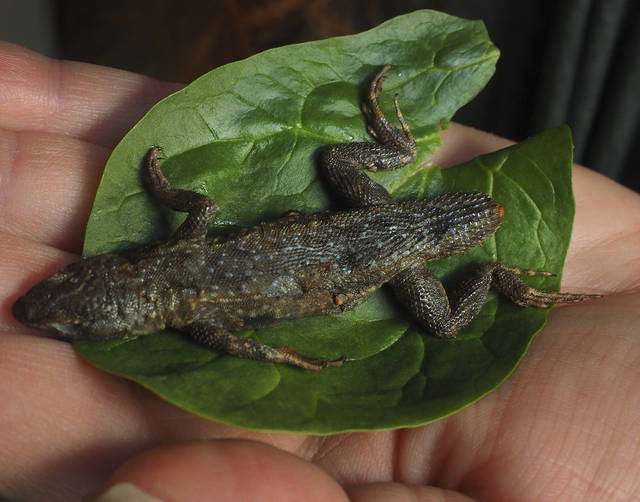 Store-bought lettuce had a 3-inch lizard in it, Maine woman says