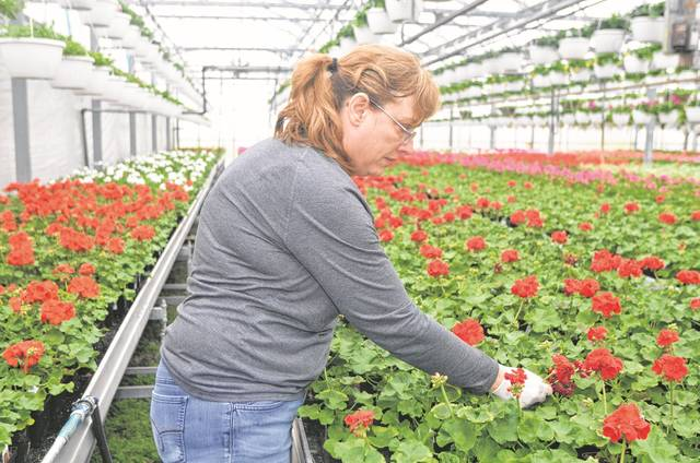 Julie Recker, picks off the dead buds from the flowers at the K&J Greenhouse, 10765 Road Z, Columbus Grove.