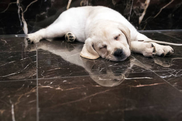Harbor, an 8-week old labrador retriever, takes a nap during a news conference in March at the American Kennel Club headquarter in New York. New dog owners can expect to shell out $1,200 to $2,000 in the first year, and as much as $14,500 over their pup's lifetime, according to the American Society for the Prevention of Cruelty to Animals. And that's just for routine costs.