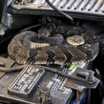 GET THIS: Man finds rattlesnake under hood while trying to start car