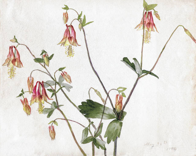 "Columbine painted in 1884 by Matilda ""Tillie"" Badeau."