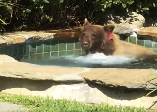 This Friday, June 29, 2018, image made from video released by Mark Hough shows a bear in a hot tub in Hough's backyard in Altadena, Calif. Hough said he was lounging in his Altadena backyard Friday afternoon when he heard rustling, then saw the bear climbing over a fence into his yard. He retreated inside, leaving his margarita behind, and later saw the bear in the hot tub. (Mark Hough via AP)