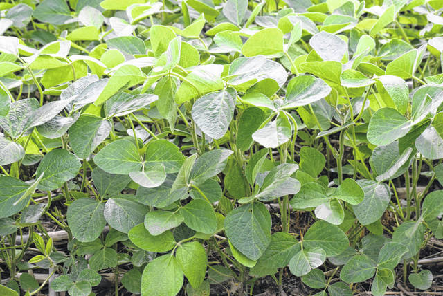 Soybean crops look healthy at an area field.