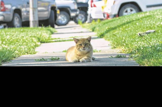 One of the stray cats who was trapped, neutered and released by Humane Ohio in July 2017 rests in the shade on a hot, humid Thursday morning on South Perry Street. When cats are neutered in this program, a tip of an ear is clipped to mark them.