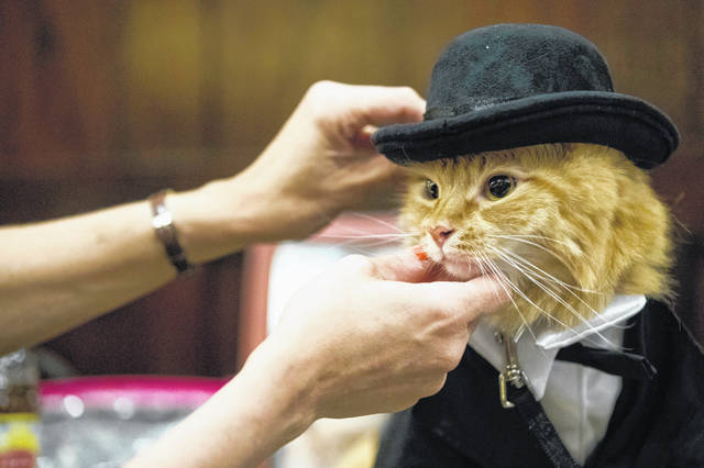 Sam Checo dresses her Mango backstage ahead of Thursday's cat fashion show at the Algonquin Hotel in New York. The Algonquin Hotel's annual feline fashion show was presided over by the historic Times Square establishment's 12th resident cat, a ginger boy with a theatrical name, Hamlet VIII.