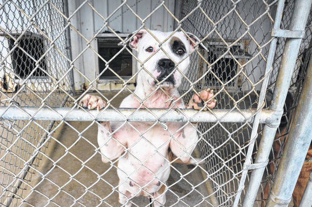 Meesha, a female pit bull, is being housed at the Auglaize County Humane Society. It's believed she may have been involved in dog fighting.