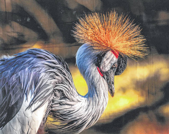 """First place, animals """"Crest crane"""" by Donald Nuss, St. Marys"""
