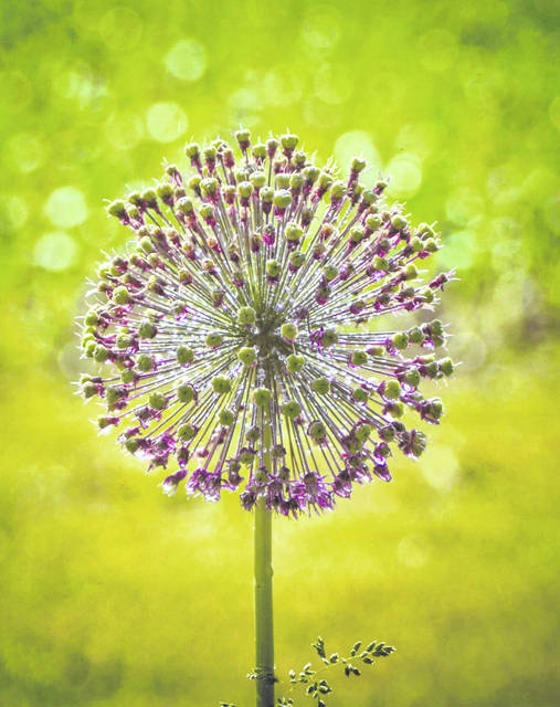 "BEST OF SHOW First place, flowers ""Allium"" by Jodi Anderson, New Bremen"